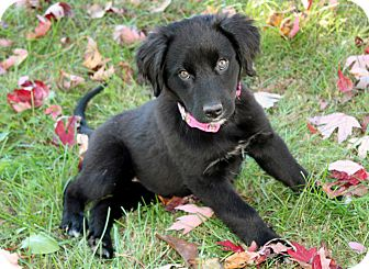 Australian Shepherd Mix Puppy for adoption in Salem, New Hampshire - PUPPY ANNABELLE LANE