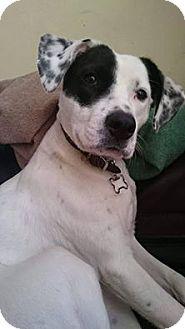 Dalmatian/Setter (Unknown Type) Mix Dog for adoption in Evergreen Park, Illinois - Dottie