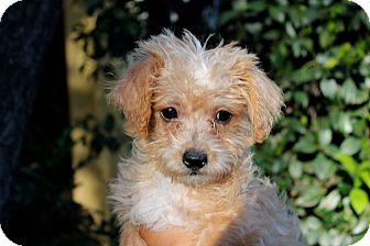 Poodle (Miniature) Mix Puppy for adoption in Los Angeles, California - Barney Rubble