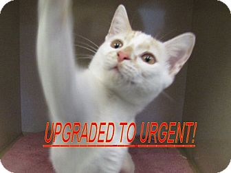 American Shorthair Cat for adoption in Port St. Joe, Florida - Todd
