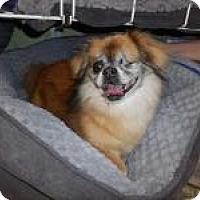 Adopt A Pet :: Chewy (Chewbacca) - Shawnee Mission, KS