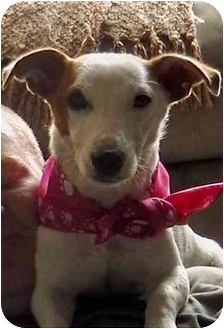 Jack Russell Terrier Mix Dog for adoption in Louisville, Kentucky - Piper