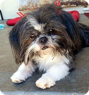 Shih Tzu Dog for adoption in Winnetka, California - CHARLENE