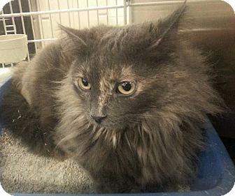 Domestic Longhair Cat for adoption in Anoka, Minnesota - KittyCat