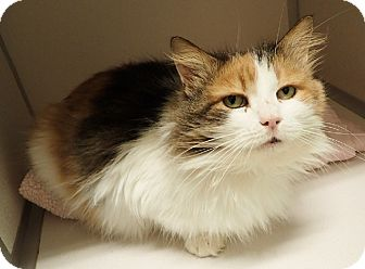 Maine Coon Cat for adoption in Cannelton, Indiana - Isadore