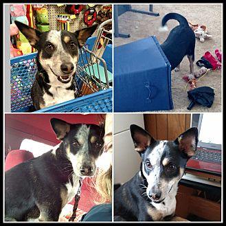 Cattle Dog/Pointer Mix Puppy for adoption in LANSING, Michigan - Puppy