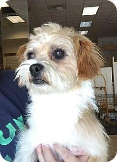 Shih Tzu Mix Dog for adoption in Chico, California - Skywalker