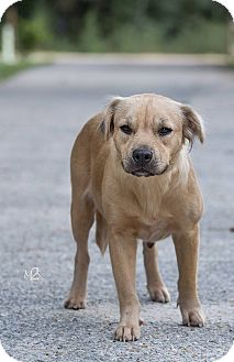 Labrador Retriever/Pekingese Mix Dog for adoption in Daleville, Alabama - Megan