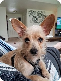 Chihuahua/Terrier (Unknown Type, Small) Mix Puppy for adoption in Grants Pass, Oregon - Norbert