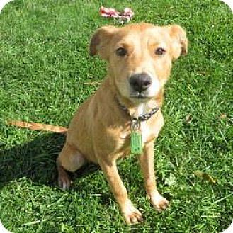 Labrador Retriever Mix Puppy for adoption in Janesville, Wisconsin - Bagel