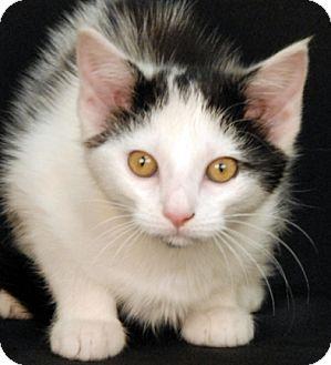 Domestic Shorthair Cat for adoption in Newland, North Carolina - Hurley