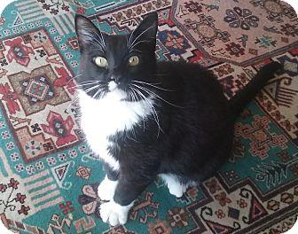 Domestic Shorthair Cat for adoption in Overland Park, Kansas - Ava