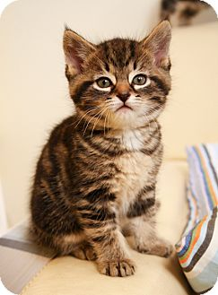 Domestic Shorthair Kitten for adoption in Kingston, Ontario - Tucker