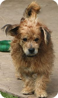 Cairn Terrier Mix Dog for adoption in Allentown, Pennsylvania - Hedwig