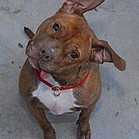 Pit Bull Terrier Mix Dog for adoption in Phoenix, Arizona - Felicia