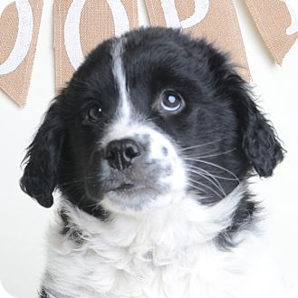 Mixed Breed (Medium)/Border Collie Mix Puppy for adoption in Wilmington, Delaware - Luna