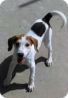 Treeing Walker Coonhound/Labrador Retriever Mix Puppy for adoption in Burgaw, North Carolina - Mason