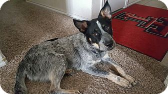 Blue Heeler Mix Dog for adoption in Austin, Texas - Buddy