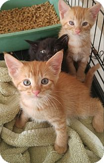 Domestic Shorthair Kitten for adoption in Murdock, Florida - Orange