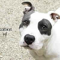 Pit Bull Terrier Mix Dog for adoption in South Bend, Indiana - Corbert