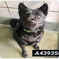 Adopt A Pet :: MOMMA BEAR - San Antonio, TX
