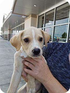 Labrador Retriever/Catahoula Leopard Dog Mix Puppy for adoption in Plano, Texas - Sunny