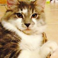 Adopt A Pet :: Grayson - Chandler, AZ