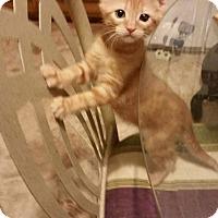 Adopt A Pet :: Abigail - Mansfield, TX
