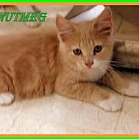 Adopt A Pet :: Nutmeg - Berkeley Springs, WV