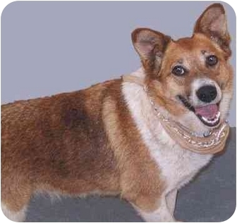 Welsh Corgi Mix Dog for adoption in Grass Valley, California - Maggie*URGENT*
