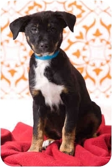 Border Collie/Labrador Retriever Mix Puppy for adoption in Portland, Oregon - Alberta