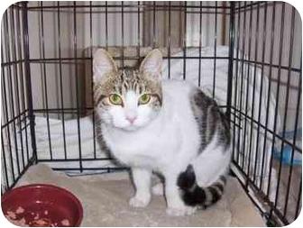 American Shorthair Kitten for adoption in Los Angeles, California - Flower