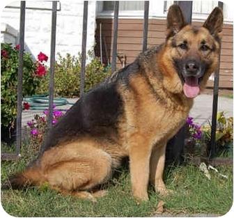 German Shepherd Dog Mix Dog for adoption in Los Angeles, California - Franklin von Frankfurt