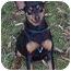Photo 1 - Miniature Pinscher Dog for adoption in Columbus, Ohio - chance