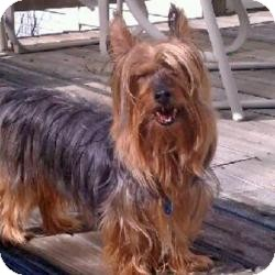Yorkie, Yorkshire Terrier Dog for adoption in Woodbridge, Virginia - Pickles