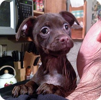 Chihuahua Mix Puppy for adoption in Medford, New Jersey - Linus
