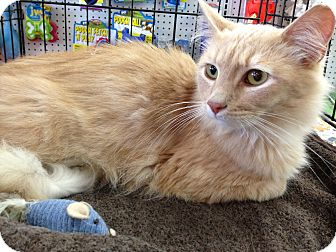 Domestic Mediumhair Cat for adoption in East Hanover, New Jersey - Seymour