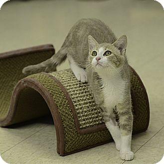 Domestic Shorthair Kitten for adoption in Stillwater, Oklahoma - Coco