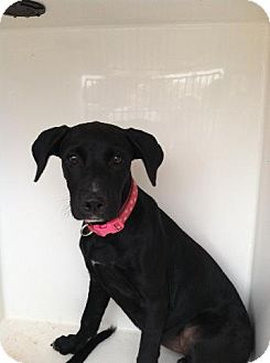Labrador Retriever Mix Puppy for adoption in Winsted, Connecticut - Annie