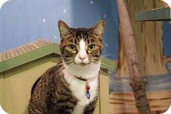 Domestic Shorthair Cat for adoption in Elyria, Ohio - Fitz