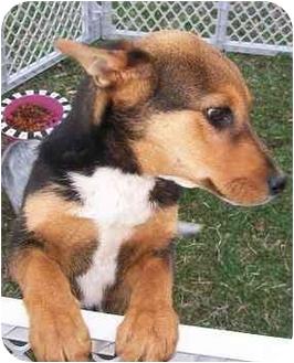 Shepherd (Unknown Type)/Corgi Mix Puppy for adoption in Hammonton, New Jersey - Pontiac