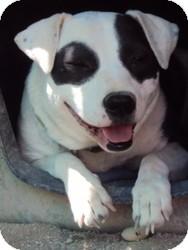 Dalmatian/Labrador Retriever Mix Dog for adoption in Las Vegas, Nevada - Sophie