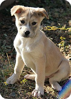 Husky/Golden Retriever Mix Puppy for adoption in Windham, New Hampshire - Enya
