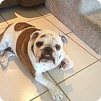 Adopt A Pet :: Sarge - Gilbert, AZ