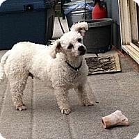 Adopt A Pet :: Bijou - Loveland, CO
