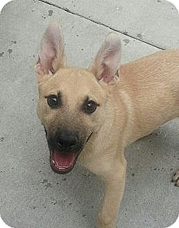 German Shepherd Dog/Belgian Malinois Mix Puppy for adoption in Chicago, Illinois - Paul*ADOPTED!*