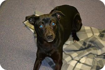 Terrier (Unknown Type, Small) Mix Dog for adoption in Edwardsville, Illinois - Sherman