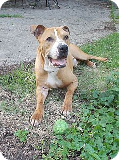 Pit Bull Terrier/Boxer Mix Dog for adoption in Memphis, Tennessee - Bruno