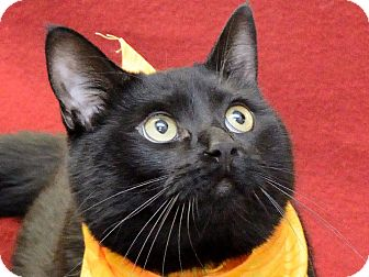 Domestic Shorthair Cat for adoption in Warren, Michigan - Kasey
