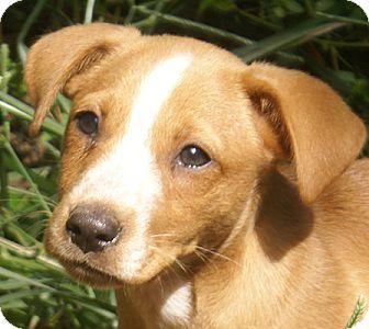 Labrador Retriever Mix Puppy for adoption in Spring Valley, New York - Cruz